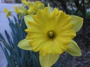 Daffodil #1