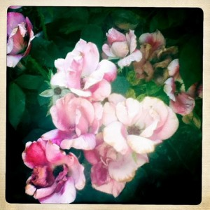 #doubleexposure #knockout roses