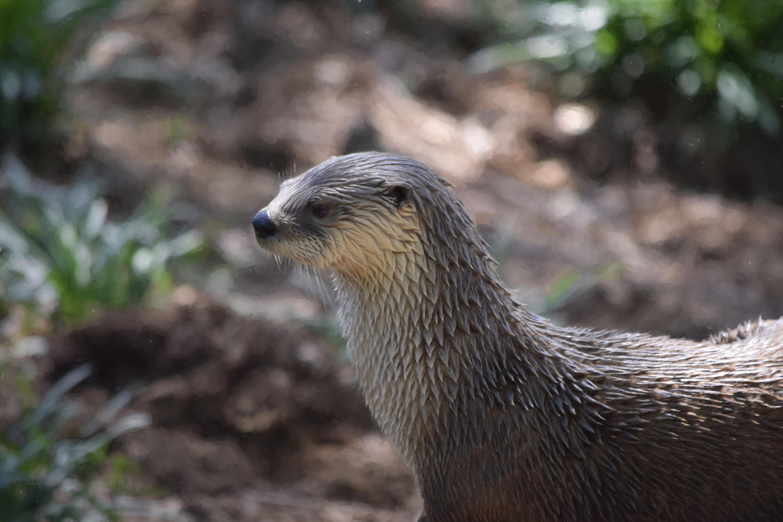 River Otter Topaz Impressions 41pct