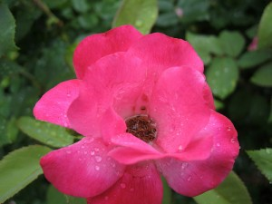 Knock Out Rose 1