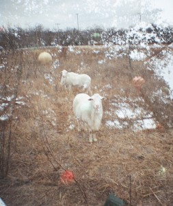 Double Exposure Sheep and Christmas Tree