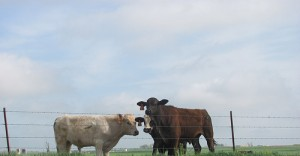 Custer County Cows