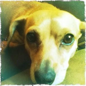 #ginger #dog