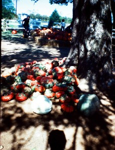 Pumpkins 7