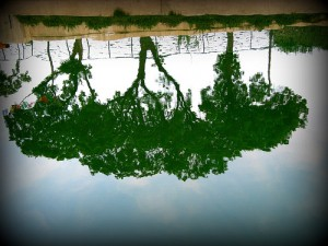 Three Trees on San Antonio River II