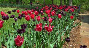 Philbrook Tulips HDR